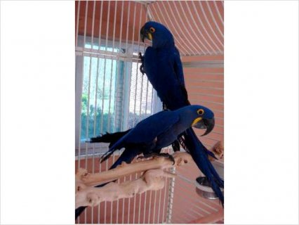 Hyacinth Macaw for Re-Homing