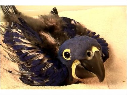 **Hand fed Hyacinth Macaw babies & more!**