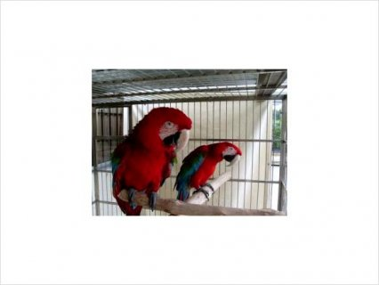 Healthy and Adorable Green Wing Parrot For Adoption