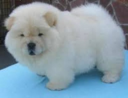 vet checked chow chow puppies available now for sale