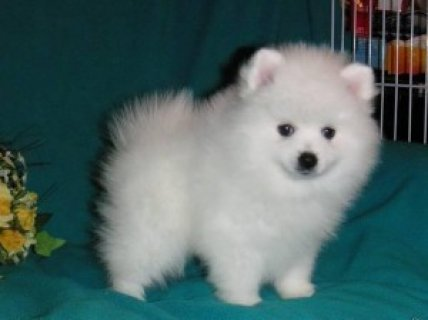 pure breed white pomaranian puppies for adoption