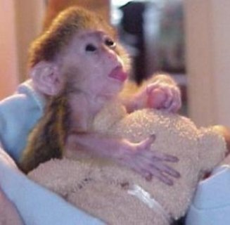Capuchin Monkeys for good homes