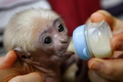 Beautiful Capuchin Monkey