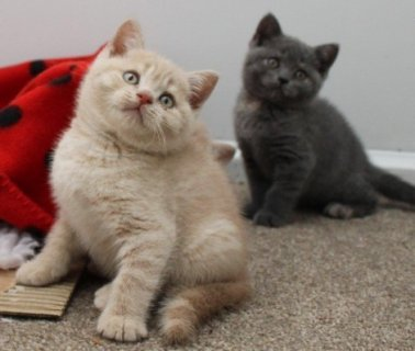 britihs shorthair kittens for adoption