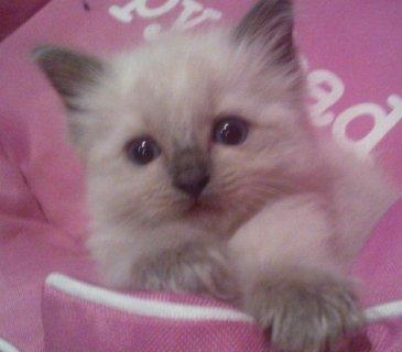 ragdoll kittens shorthair kittens for adoption