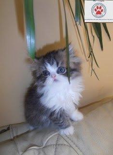 siberian kittens for adoption