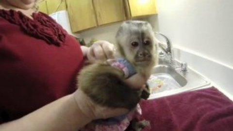 17 weeks old male and female baby capuchin monkeys for adoption