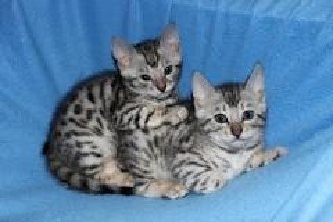 جميل ورائعتين القطط البنغال للمنزل لطيفة.