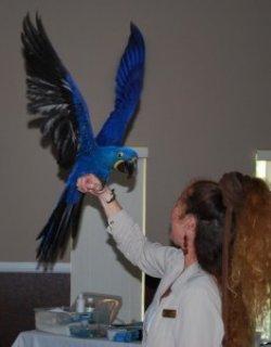Home Raised Female Hyacinth Parrot4
