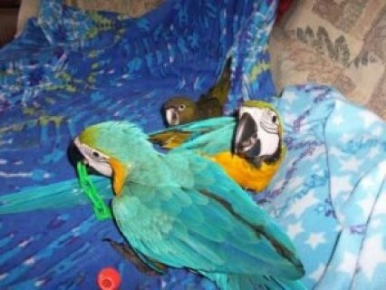 صور Talking Blue and Gold Macaw Parrots4 1