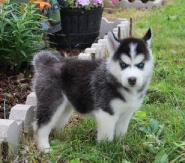 Beautiful Siberian Husky Puppies1