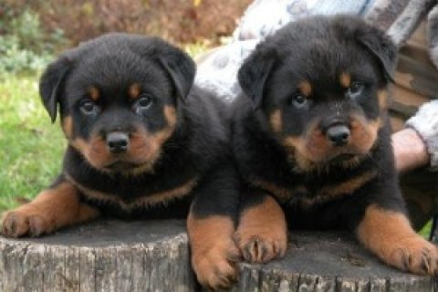 Rottweiler Puppies Available5