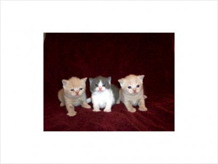 صور British Shorthair Kittens 1