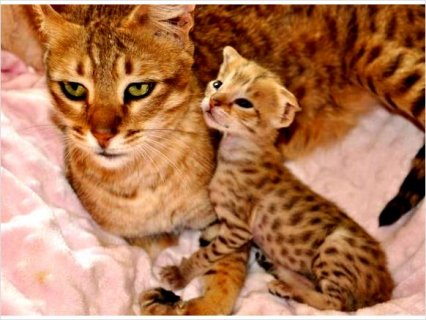 savannah Kitten For Sale - Too cute!