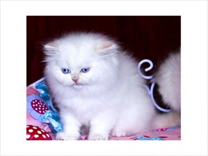 Very energetic and playful Persian kittens for sale.