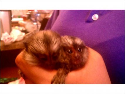 صور Nice baby marmoset for sale 1