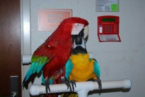 Tame Macaw Parrots, Kea, Cockatoo and Amazon Parrots