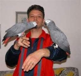 Home Raised African Grey Parrots