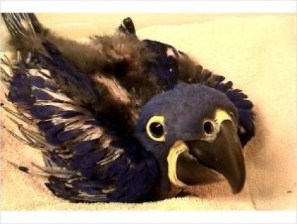Handfed Hyacinth Macaw Parrot for Sale