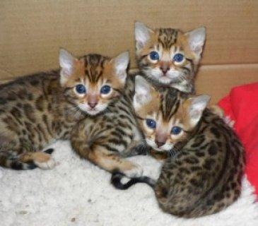 القطط الفارسية للتبني