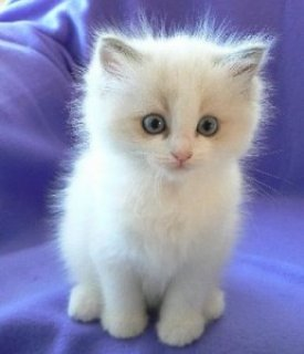 القطط دوول - النسب المسجلين