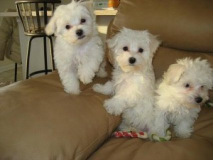Sweet Teacup Maltese Puppy for Adoption
