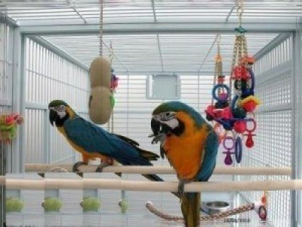 Blue and Gold Macaw for adoption