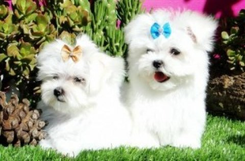 صور TWO LOVELY MALTESE PUPPIES FOR NEW YEAR GIFT!!!!!!!!! 1