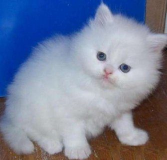 صور Terrific British Shorthair Kittens for your home 1