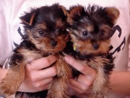 Male and Female Teacup Yorkshire Terrier puppies for Free