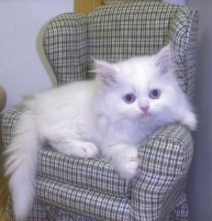 Adorable male and female Persian kittens ready for adoption