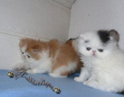 Persian kittens For Adoption Now Ready To Go Home.