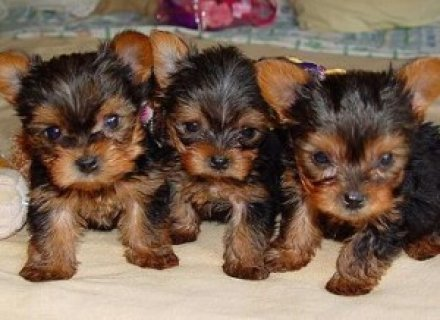 AKC Yorkie Puppies Available NOW text us at