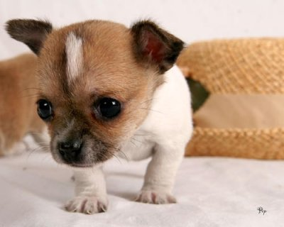 صور  Lovely Chihuahua Puppies for home adoption 1