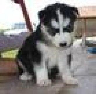 free to good home Siberian husky puppies
