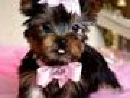 Cute AKC yorkie Puppy for Adoption