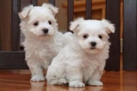 Tiny Maltese Puppies For Adoption