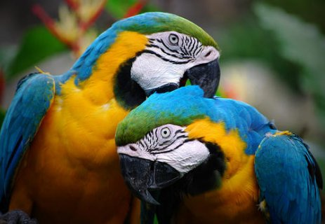 Macaws for adoption
