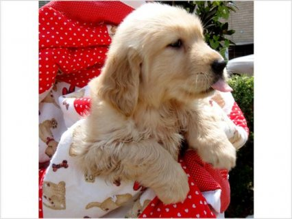 Golden Retriever Puppies For Sale3