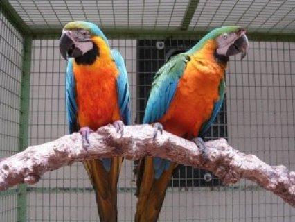 * Black palm cockatoo * Blue and gold macaw * Citron cockatoo