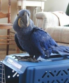 Hand Fed Pair Of Hyacinth Macaw Parrots