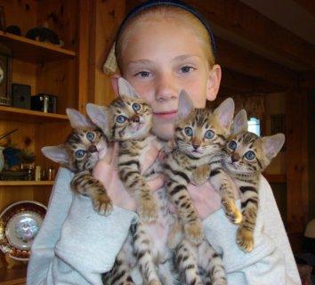 Availailable Tica Reg\'d F1 & F2 Savannah Kittens For Sale