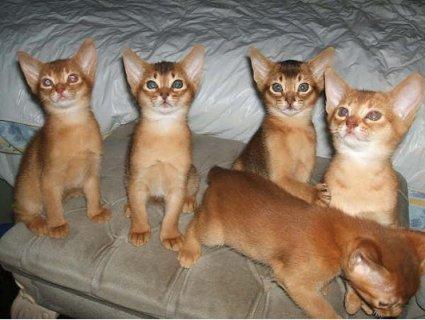 Beautiful Pure-breed Ruddy Abysinnian Kittens (Male And Female