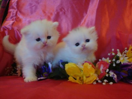 Gorgeous Two CFA Registered Persian Kittens