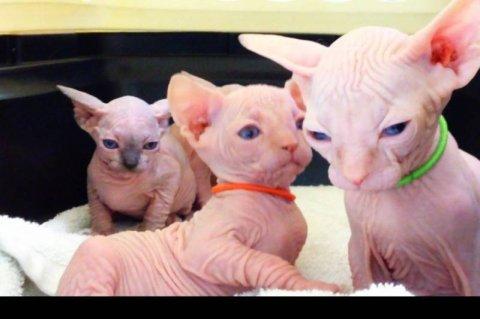 Sphynx kittens (Blue eyed too!) for Rehoming