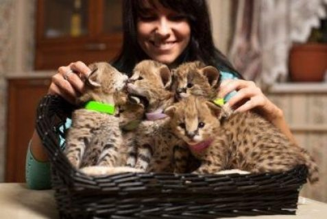 Cheetah cub kitten and Tiger Cubs for sale