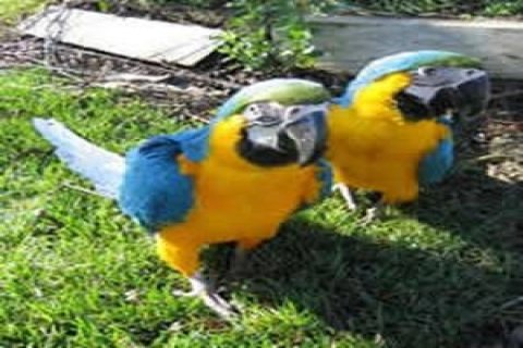 Macaw Parrots for Sale