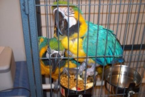 Tame and Talking Macaw Pair