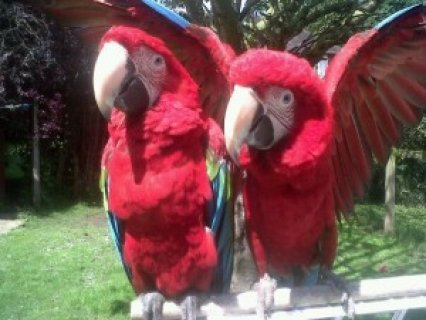 Green Winged Macaw Parrots