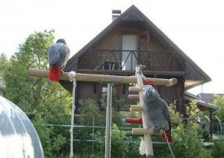 lovely male and female African grey parrots ready now
